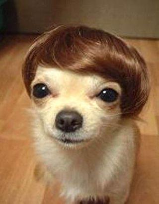 Chihuahua-toupee[1]